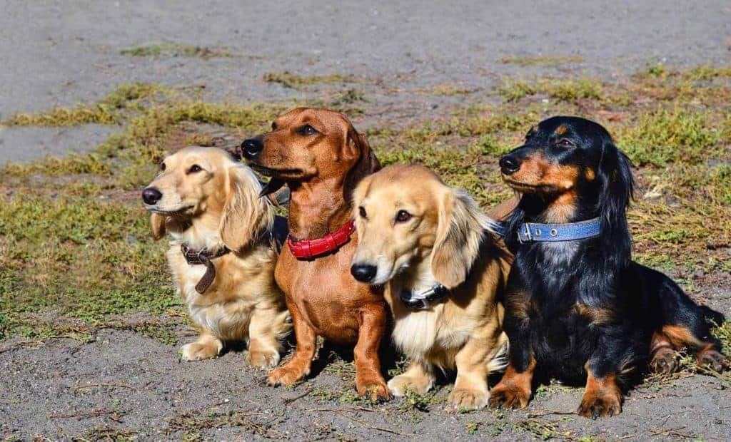 Picture with four Dachshunds with different coats