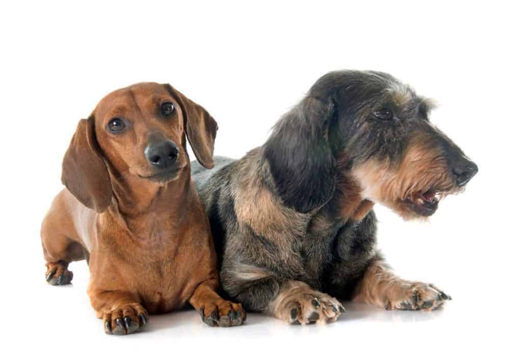 Are Dachshunds Hypoallergenic dogs?