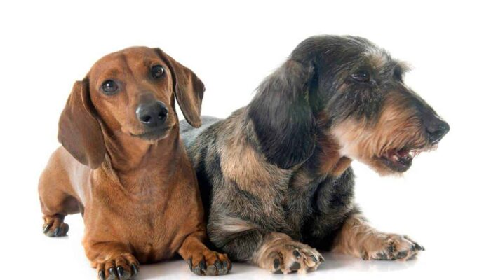 Are Dachshunds Hypoallergenic Dogs? Advice If You Are Allergic