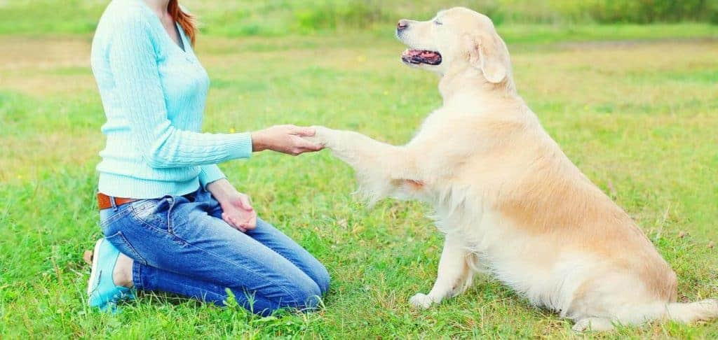 Image of a Golden Retriever being friendly with his owner