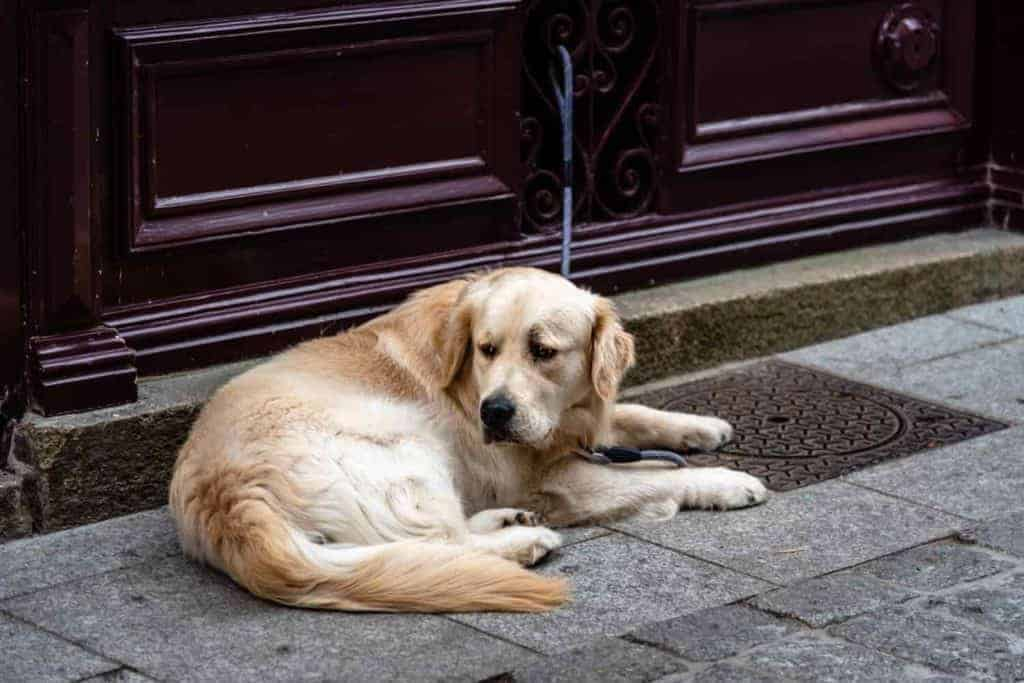 A Golden Retriever laying down near his home door
