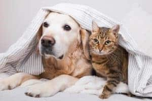 Are Golden Retrievers Good with Cats