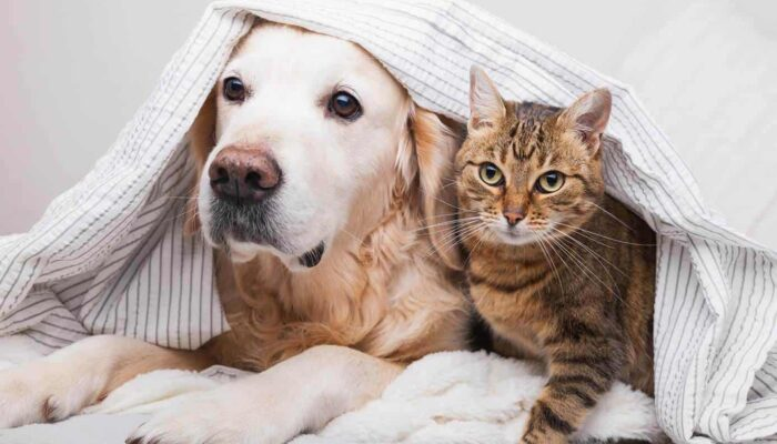 Are Golden Retrievers Good with Cats? How to Introduce Them