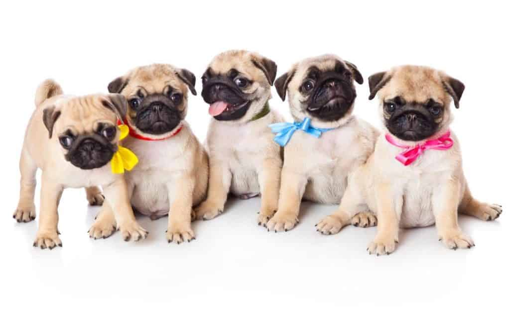 Buying a puppy - How to Choose the right dog