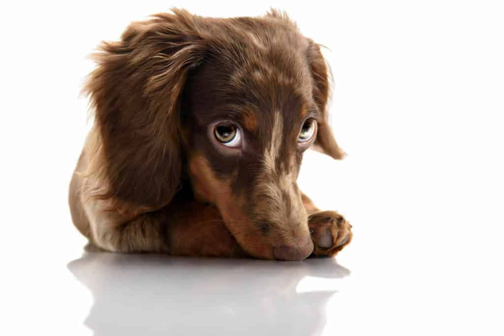 Picture of a dachshund looking with cute eyes