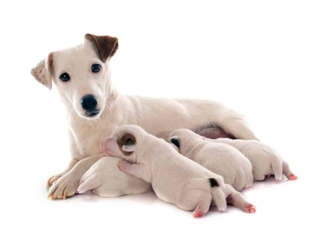 Reputable Dog Breeding. Photo of a bitch with her puppies