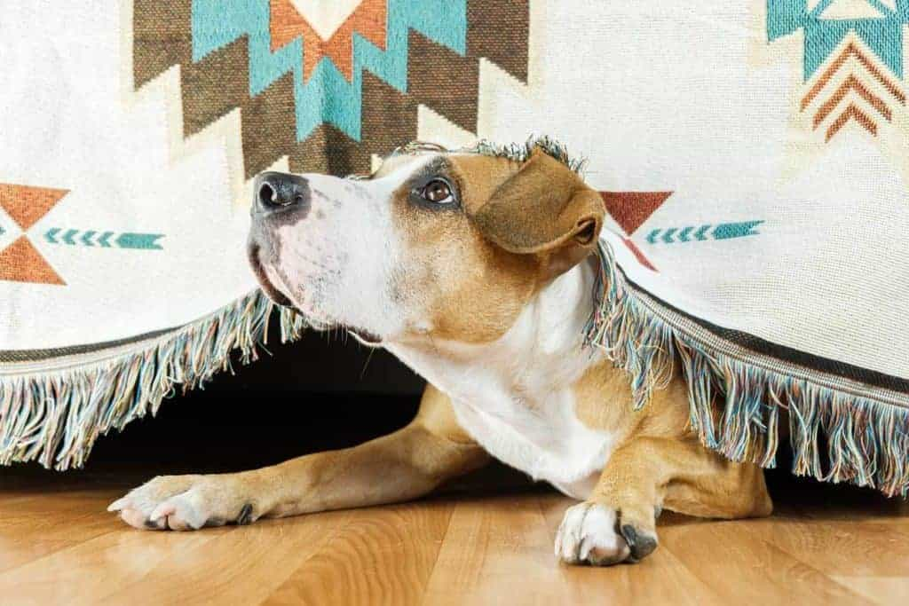 Dog Noise Anxiety and Phobia