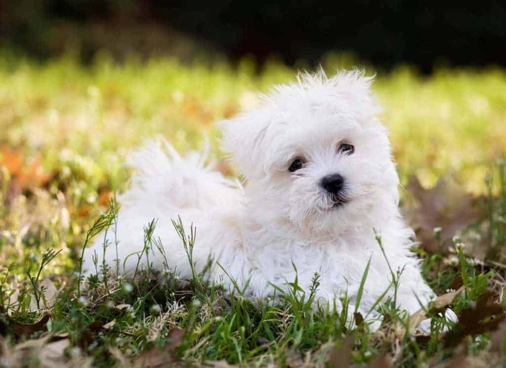 Picture of a healthy Maltese puppy