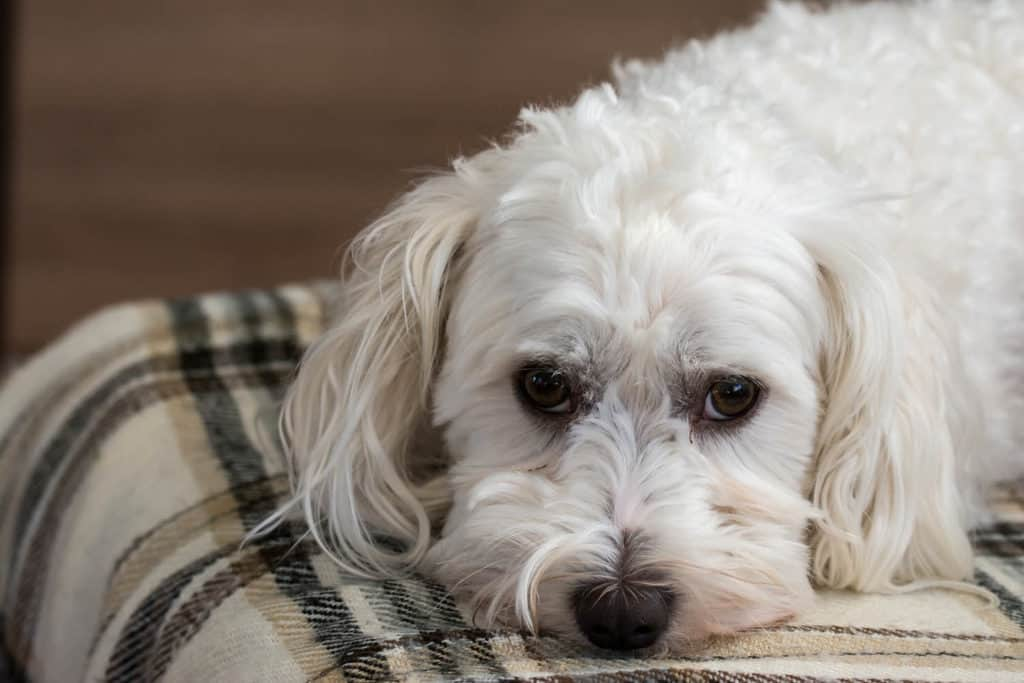 How Long Do Maltese Live? Photo of a Maltese dog laying on the carpet
