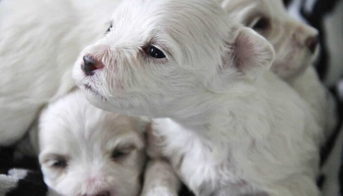 How Many Puppies Can a Maltese Have in a Litter Usually?