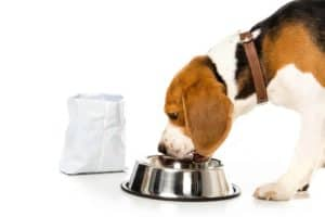 How Much Should a Beagle Eat? Photo of a Beagle eating