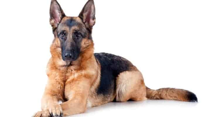 Pros and Cons of German Shepherds – Are GSDs the Right Dog?