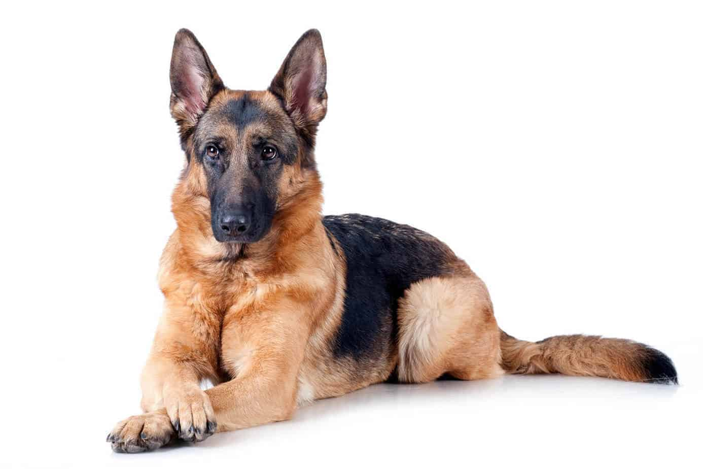 Pros and Cons of German Shepherds