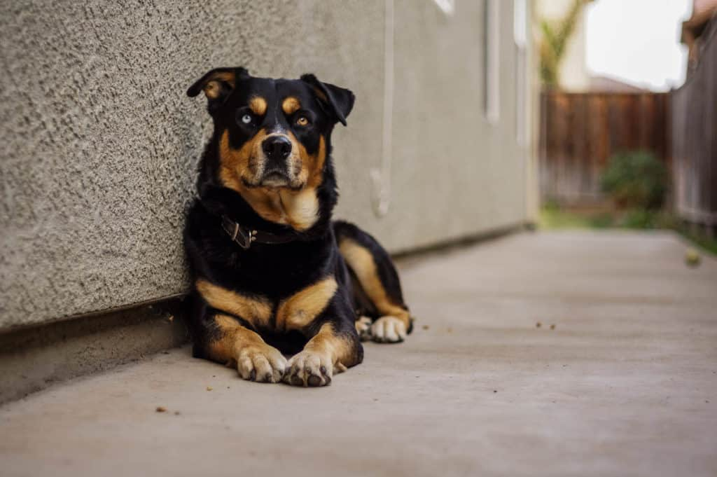 A Rottweiler Husky Mix dog with one blue eye and another brown laying down near a wall.