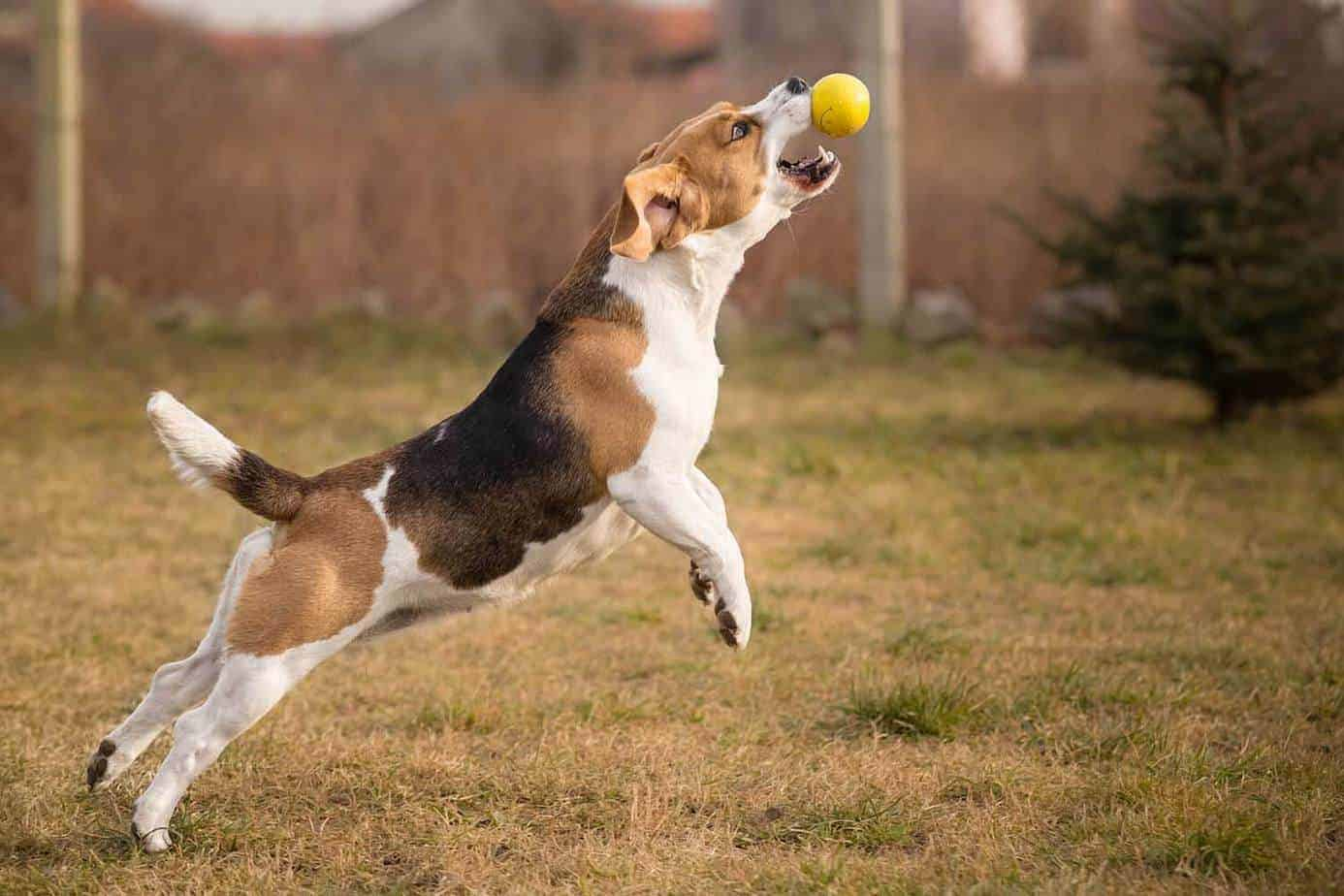 When Do Beagles Stop Growing? Photo of a Beagle jumping to catch a ball