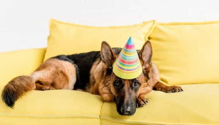 When do German Shepherds Stop Growing? GSD Stages You Must Know
