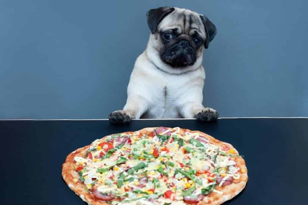 Can Dogs Eat Pizza Crust? Photo of a Pug looking at a Pizza