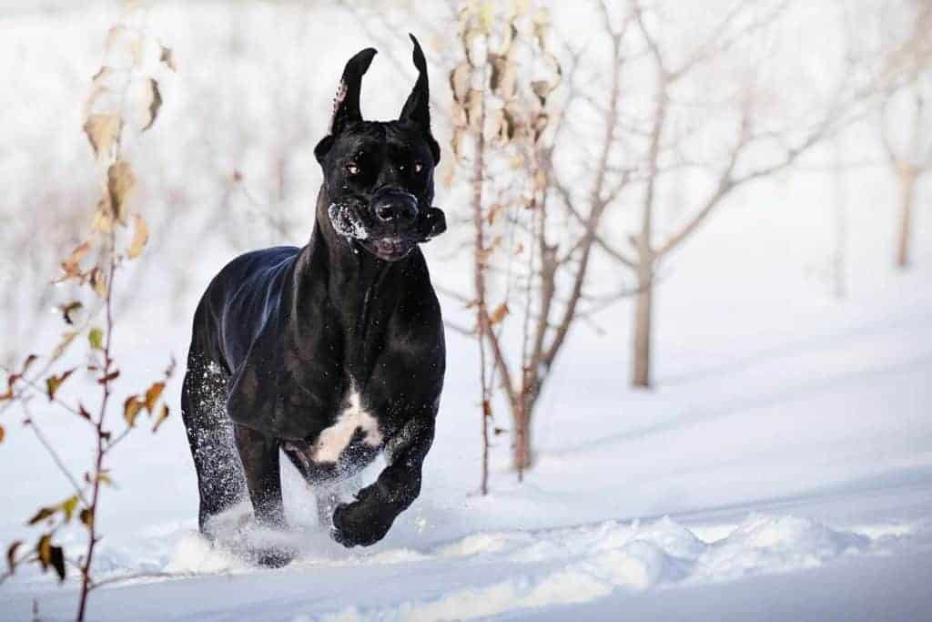 Black Great Dane running very fast on the snow