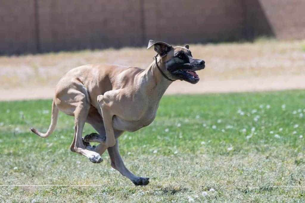 Fawn Great Dane running very fast