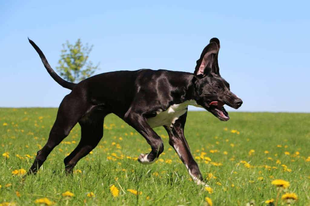 How Fast Can a Great Dane Run? Black Great Dane running very fast on an open field