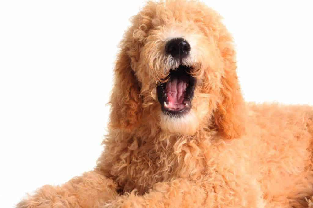 How Long Do Goldendoodles Live?