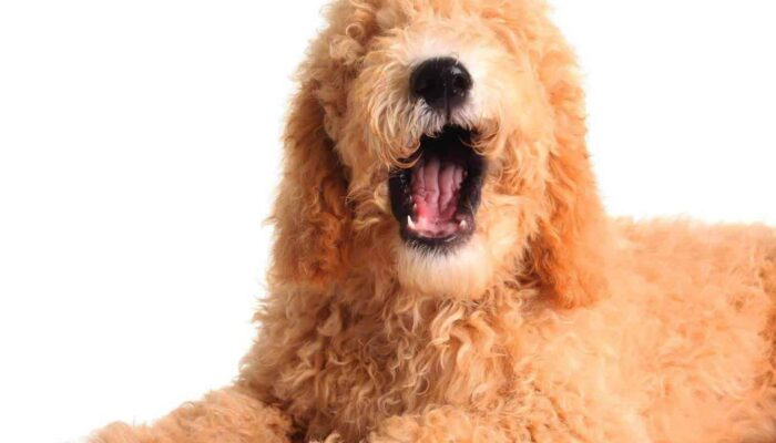 How Long Do Goldendoodles Live? Most Common Health Issues