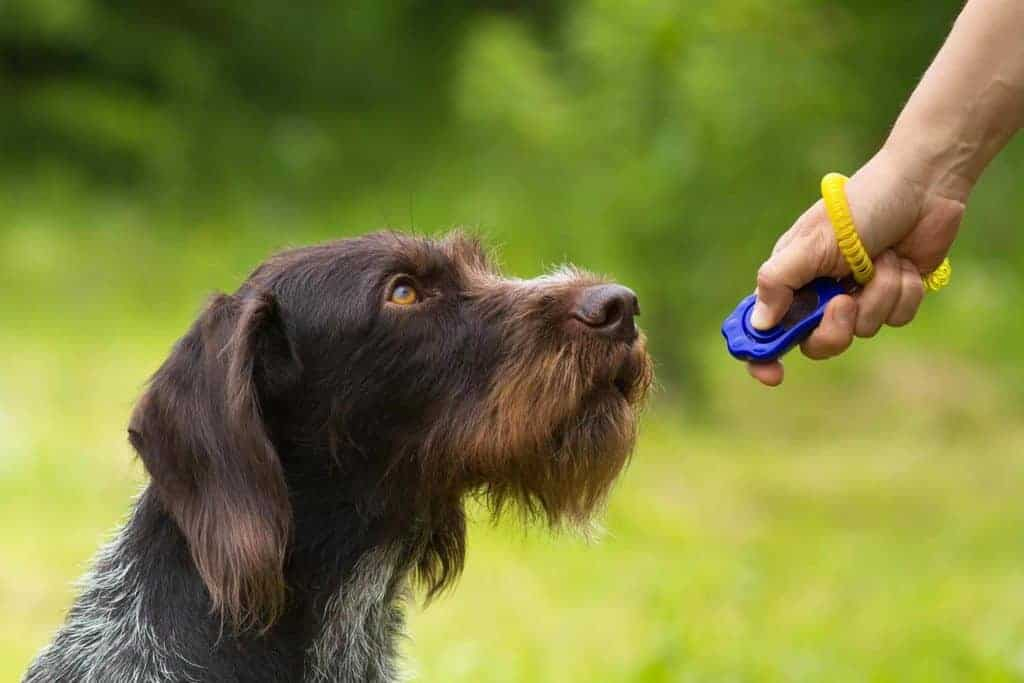 Dog looking up at his owner with a clicker trainer.