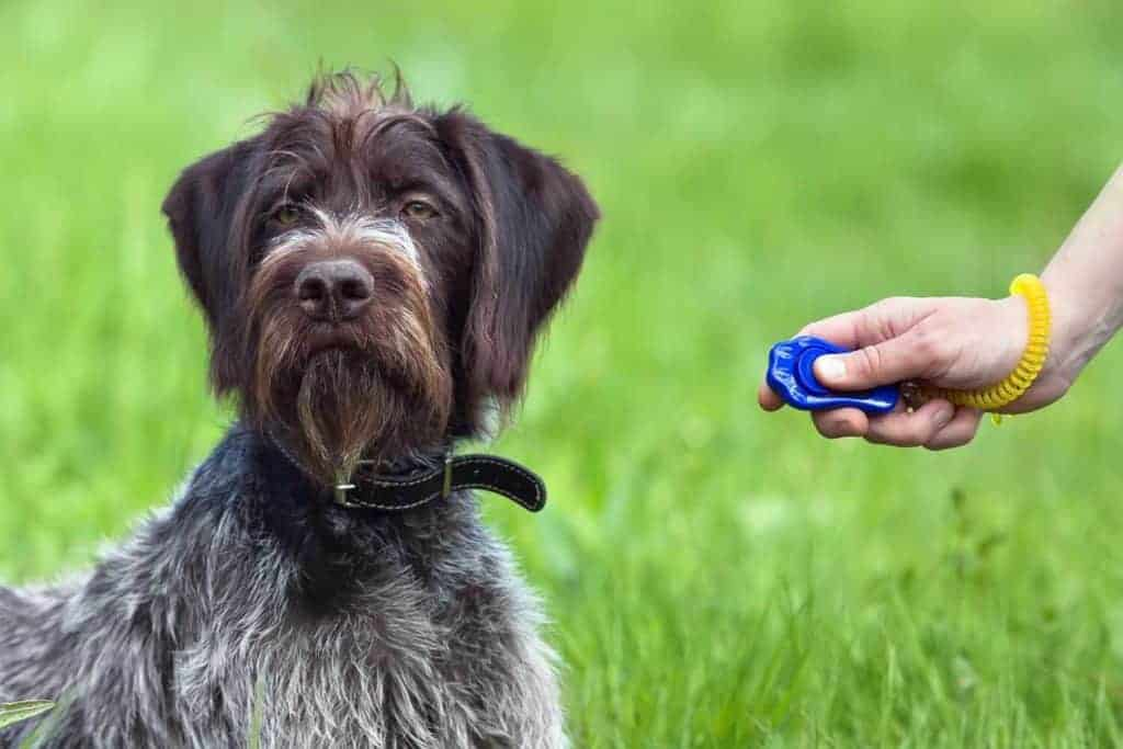 Clicker Training Pros and Cons. Photo of a dog ignoring the clicker.