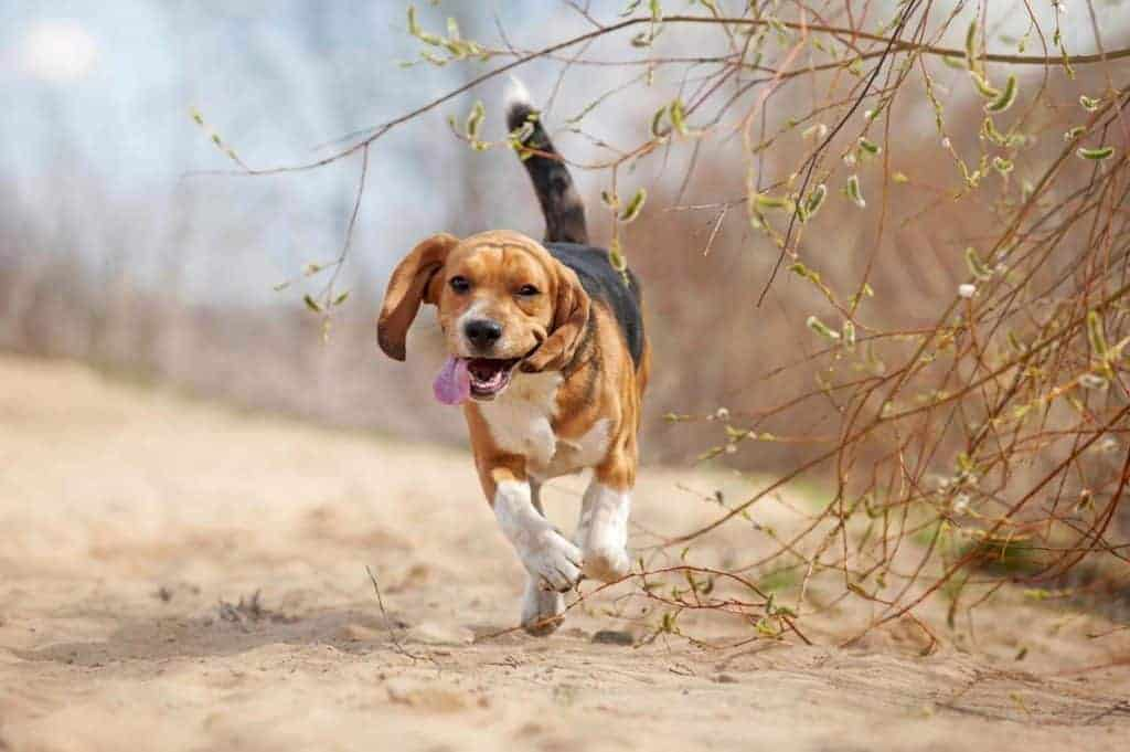 How Much Exercise Does a Beagle Need. Beagle running and looking tired