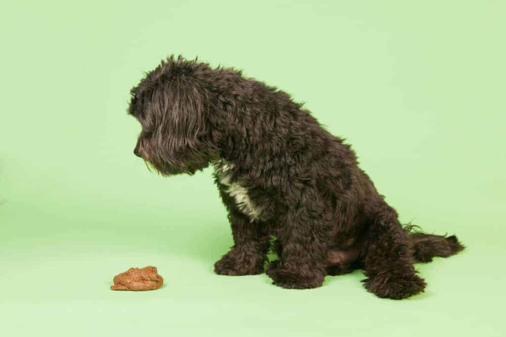 Why Are There White Specks in Dog Poop? Dog looking at poop
