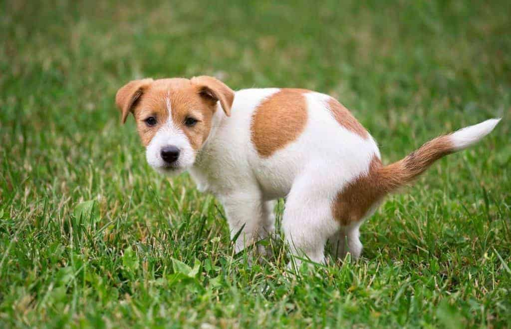 Why Is My Puppy Pooping So Much? Photo of a Jack Russel puppy pooping