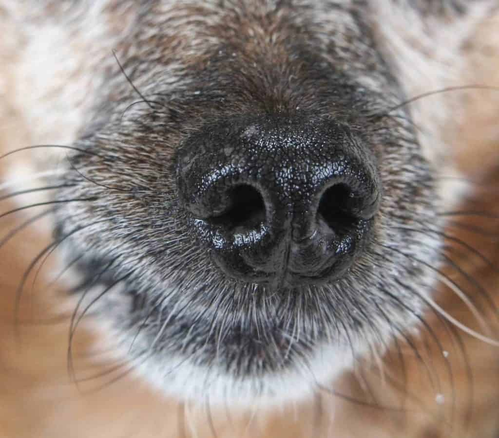 Are Whiskers Important For Dogs? Close-up photo of a dog nose with whiskers
