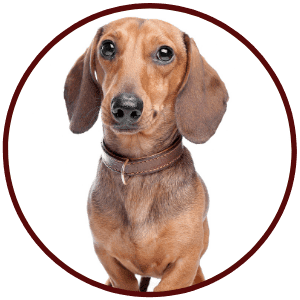 Dachshunds Breed