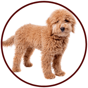 Golden Doodle Mixed Breed