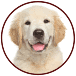 Golden Retriever Breed