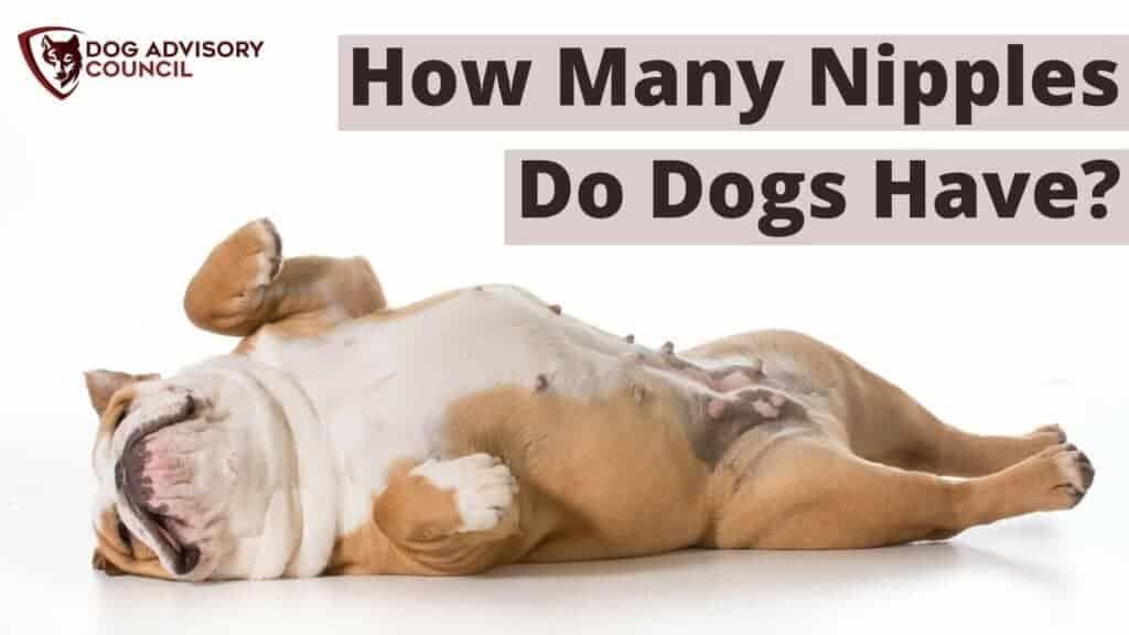 How Many Nipples Do Dogs Have? Photo of a dog laying down showing the nipples.