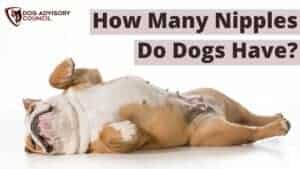 How Many Nipples Do Dogs Have