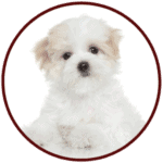 Maltese Breed