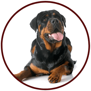 Rottweilers Breed
