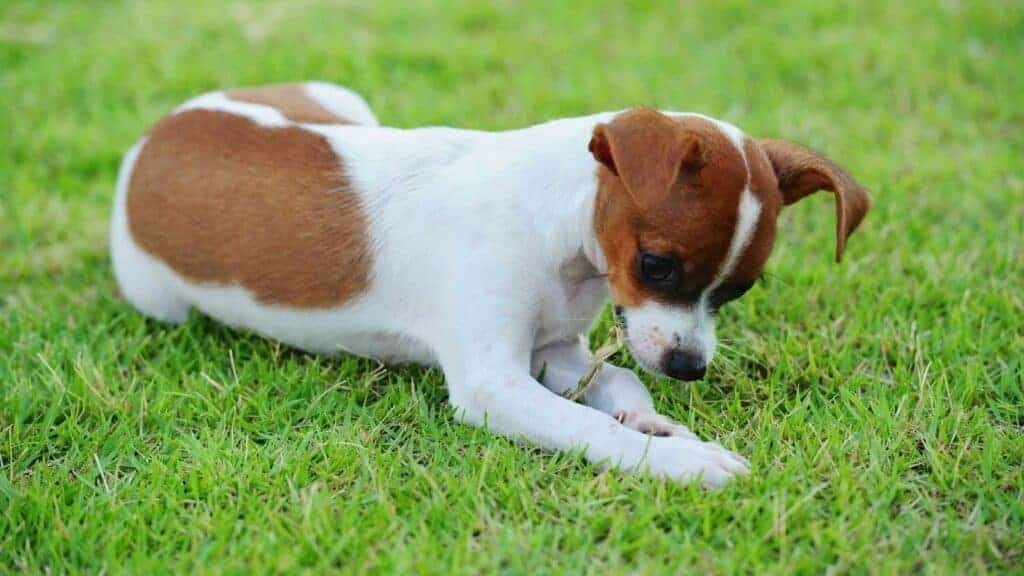 Dog Suddenly Eating Grass Like Crazy. Picture of a dog eating grass.