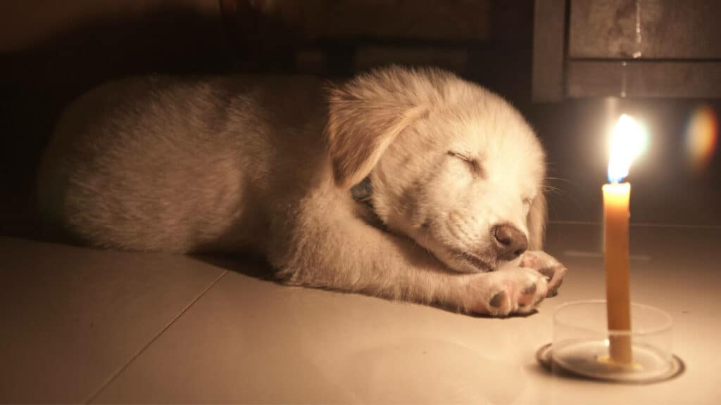 Can Dogs Eat Candle Wax? Photo of a dog sleeping beside a burning candle.
