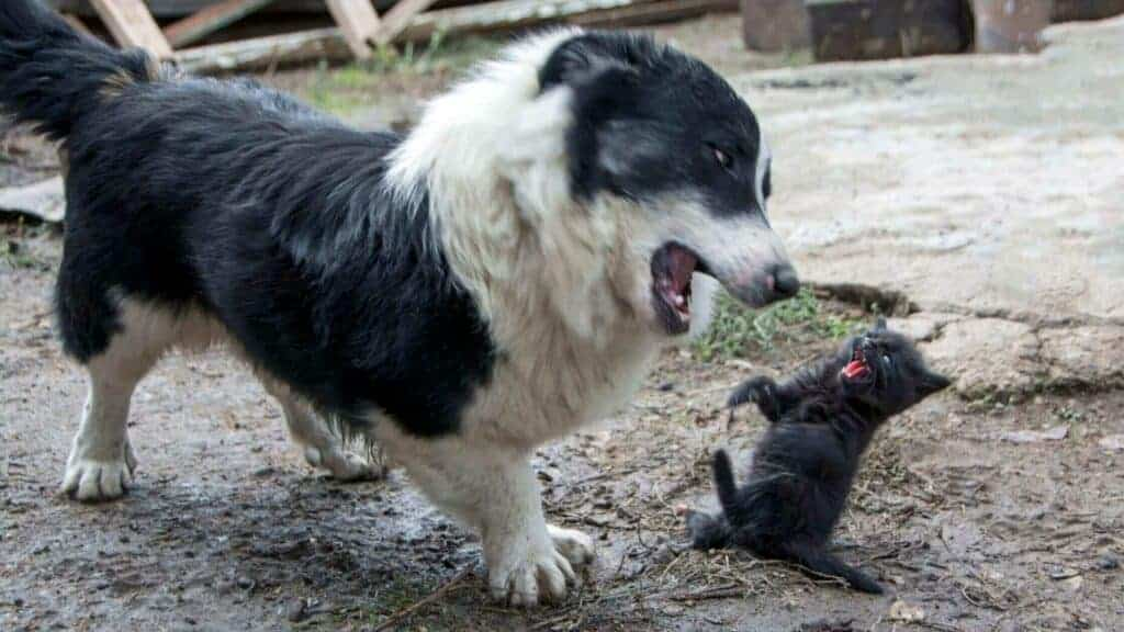 How To Stop A Dog From Being Aggressive Towards Cats? Photo of a dog attacking a cat.
