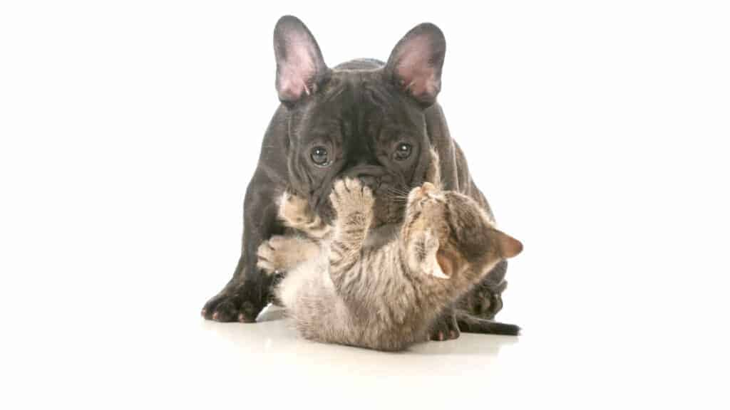 Photo of a French Bulldog on top of a cat.