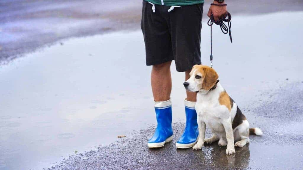 Walking a dog in the rain. Photo of a dog owner walking his beagle dog in the rain.