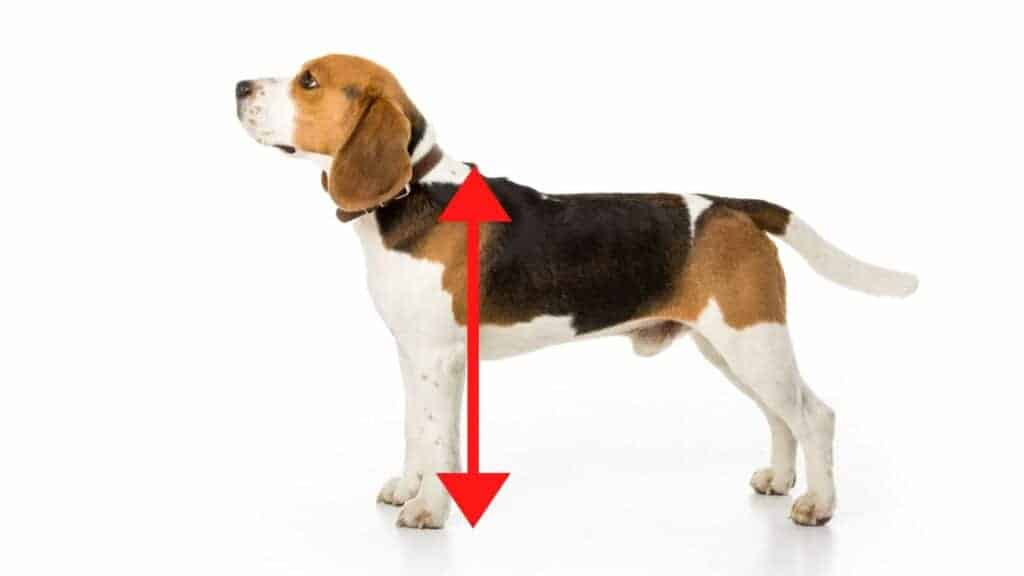 Photo showing where are withers located on a Beagle dog.
