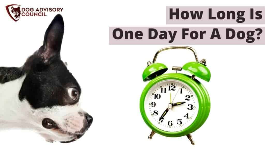 How Long is One Day for a Dog? Photo of a dog looking into a clock.