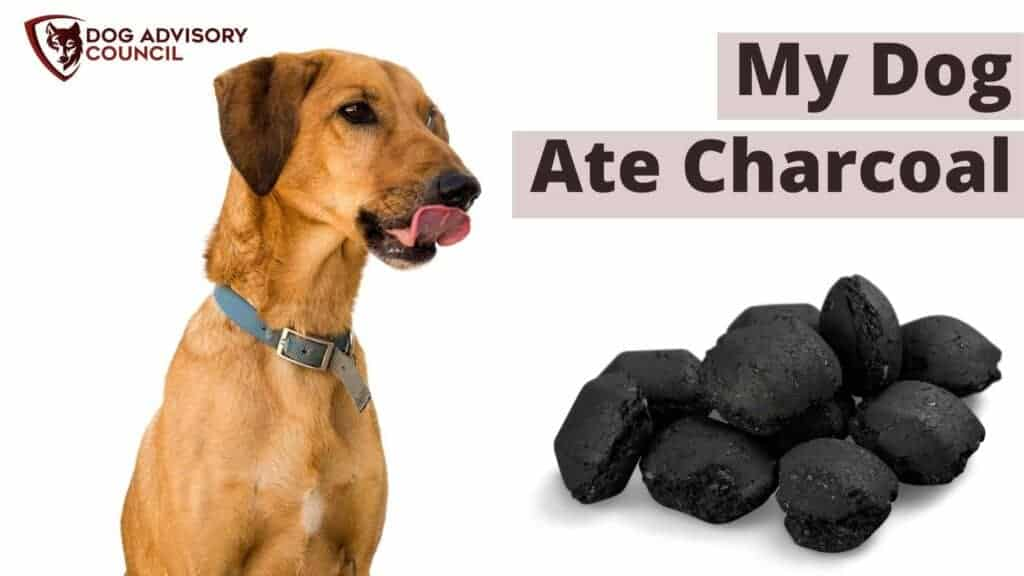 My Dog Ate Charcoal. Picture of a dog looking at charcoal and licking his lips.