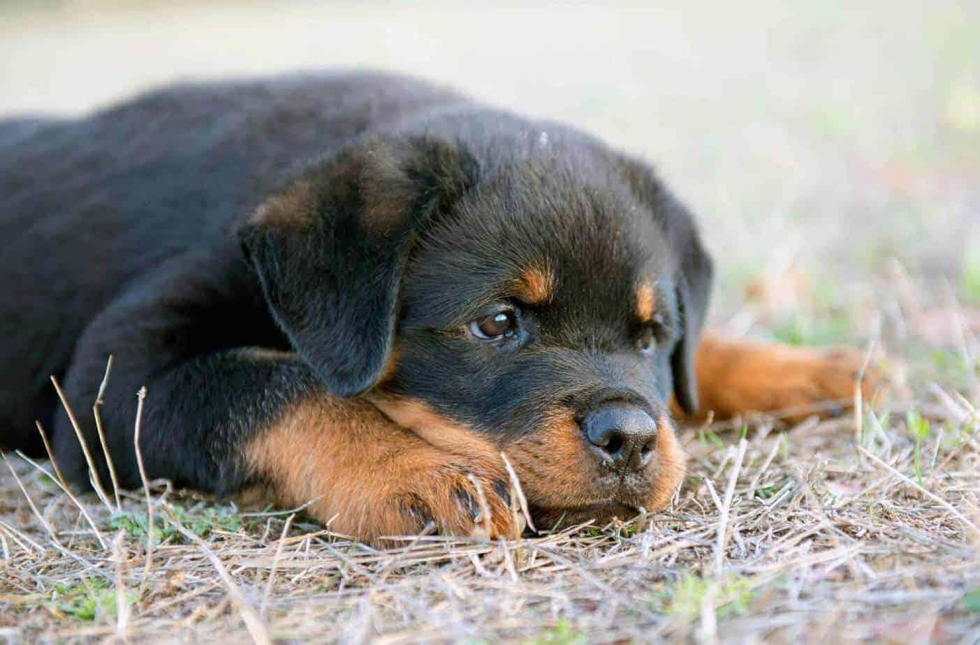 Are Rottweilers Good Guard Dogs?