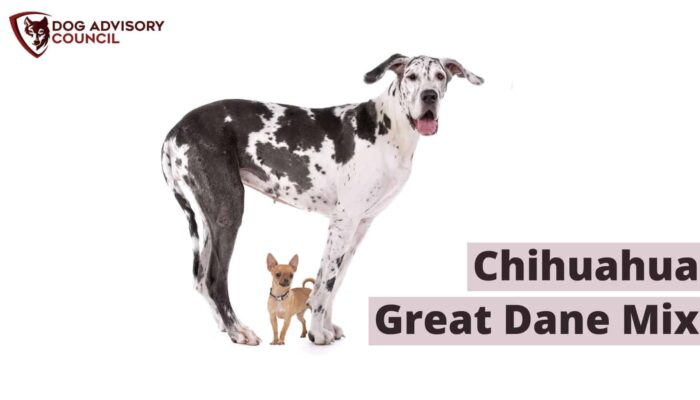 Chihuahua Great Dane Mix – All You Must Know (With Pictures)