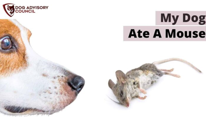 What Do I Do If My Dog Ate A Mouse? (Dead Or Alive)